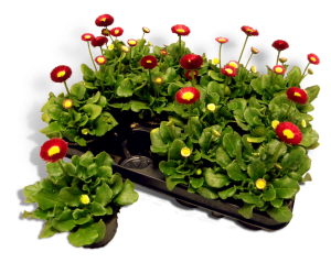 bellis-tasso-rood-productfoto_SHADOW