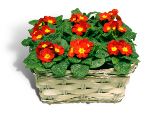 primula-rood-productfoto_SHADOW